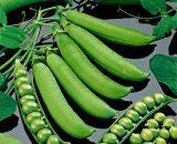 Seminte de mazare Kelvedon Wonder ( sac 25 kg)