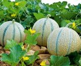 Seminte de pepene galben Arapaho F1 ( 500 seminte )