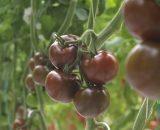 Seminte de rosii Olmeca F1 ( 500 seminte )