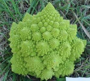 Seminte de conopida Puntoverde F1 (2500 seminte)