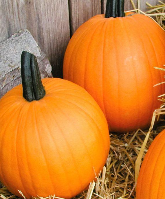 Seminte de dovleac Halloween Terrafin F1 (1000 seminte)