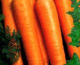 Seminte de morcovi Calibra F1 (25.000 seminte)