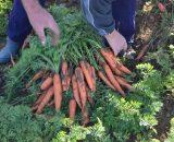 Seminte de morcovi Fidra F1 (25000 seminte)