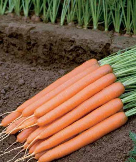Seminte de morcovi Joshi F1 (2500 seminte)