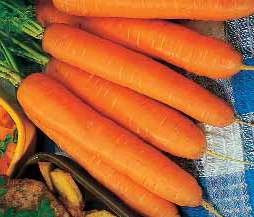 Seminte de morcovi Monanta (50 grame)