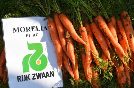 Seminte de morcovi Morelia F1 RZ