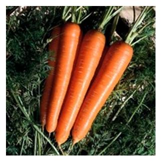 Seminte de morcovi Senator F1 (100.000 seminte )