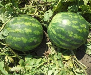 Seminte de pepene verde Sunsweet F1 (500 seminte)