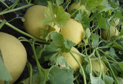 Seminte de pepeni galbeni Karpatos F1 (100 seminte)