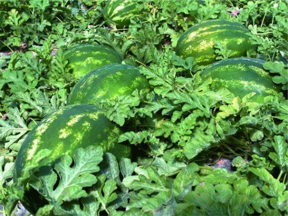 Seminte de pepeni verzi Crimstar F1 (1000 seminte)