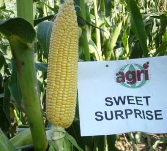 Seminte de porumb zaharat Sweet Surprise F1 (25.000 seminte)