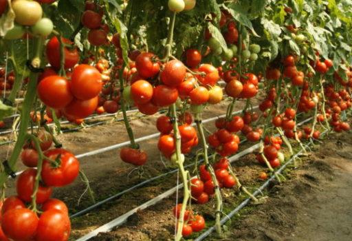 Seminte de rosii Abellus F1 (1000 seminte)