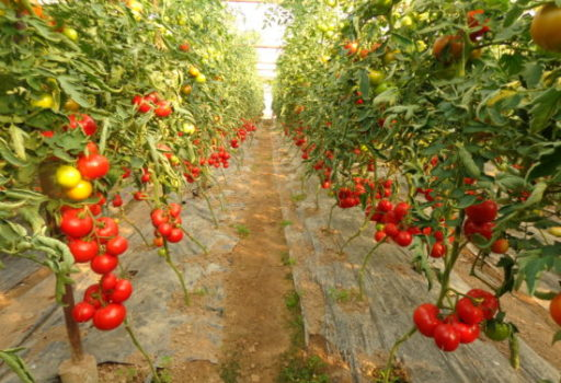 Seminte de rosii Alamina F1 (1000 seminte)