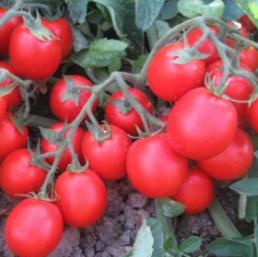 Seminte de rosii Albarossa F1 (1000 seminte)