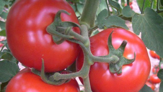 Seminte de rosii Amapola F1 (1000 seminte)