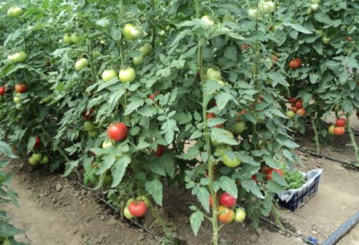 Seminte de rosii Clarabella F1 (1000 seminte)
