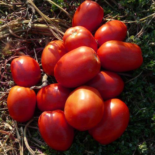 Seminte de rosii Galilea F1 (500 seminte)