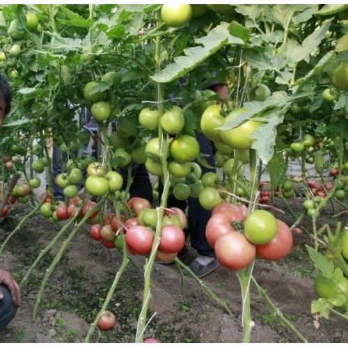 Seminte de rosii HTP - 11 F1 (500 seminte)
