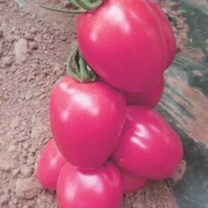 Seminte de rosii prunisoara roz Pink Pioneer F1 (500 seminte)