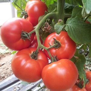 Seminte de rosii SIGNORA F1 (500 seminte)