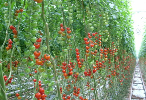 Seminte de rosii cherry Cheramy F1 (100 seminte)
