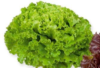 Seminte de salata creata Aficion (5 grame)