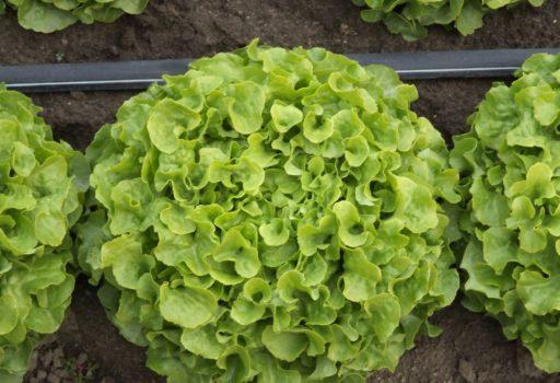 Seminte de salata creata Kiribati (1000 seminte)