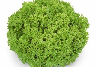 Seminte de salata creata Lozano (1000 seminte)