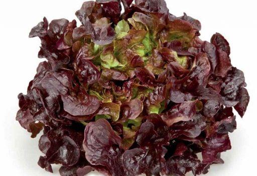 Seminte de salata creata Murai (1000 seminte)