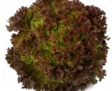 Seminte de salata creata Redial (1000 seminte)