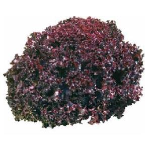 Seminte de salata rosie SANGUINE (10 grame)
