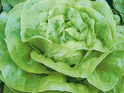 Seminte de salata verde Domiziana (5.000 seminte)