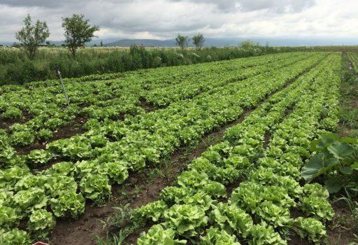 Seminte de salata verde Mahonia F1 (1000 seminte)
