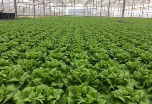 Seminte de salata verde Presteria (1000 seminte)
