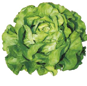 Seminte de salata verde SANDRINE (10 grame)