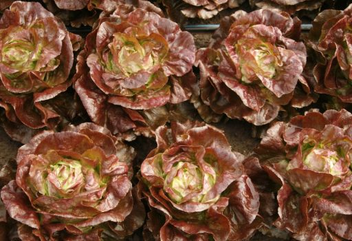 Seminte de salata verde Soliflore (1000 seminte)