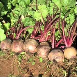 Seminte de sfecla rosie Kestrel F1 (10.000 seminte)