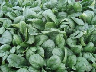 Seminte de spanac Spanion F1 (250 de grame)