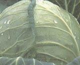 Seminte de varza Vesta (TCA 431) F1 (2500 seminte)