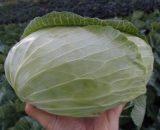 Seminte de varza alba Sarmash F1 (50 grame)