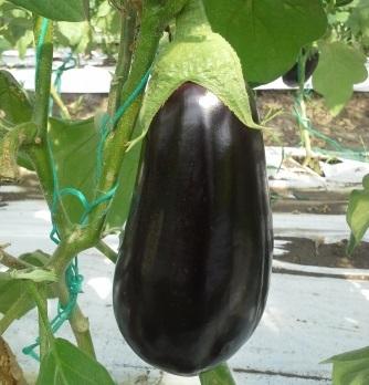 Seminte de vinete Zinki (EGP10024) (500 seminte)