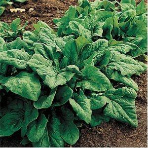 Seminte de Spanac Andros (1kg)