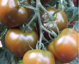 Seminte de rosii 132-283 (100 seminte)