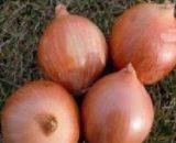 Seminte de ceapa Calatis F1 (125.000 seminte)
