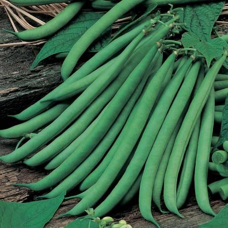 Seminte de fasole fideluta verde Ferrari ( sac 25 kg )