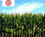 Seminte de porumb LG 30.315 (50.000 seminte)