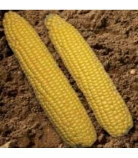 Seminte de porumb zaharat Accentuate F1 (100.000 seminte)