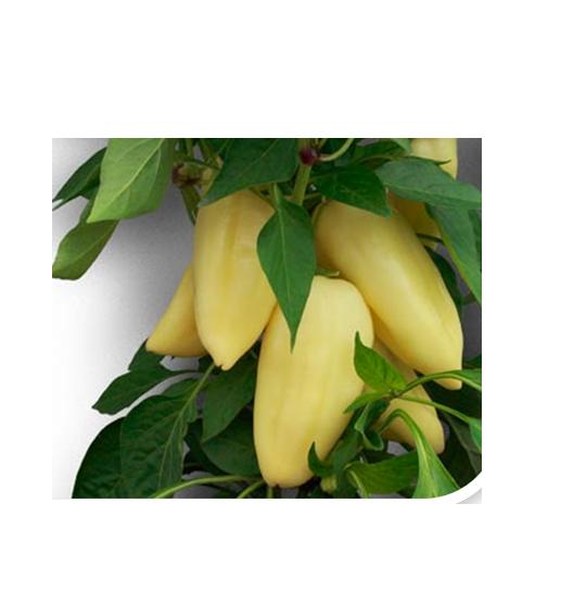Seminte de ardei gras ANTAL F1 (1000 seminte)