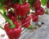 Seminte ardei gras CRX 61035 (500 seminte)