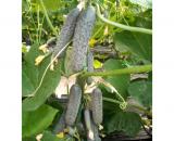 Seminte castraveti cornichon Tecu 530 F1 (1000 seminte)